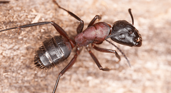 carpenter ant crawling on floor