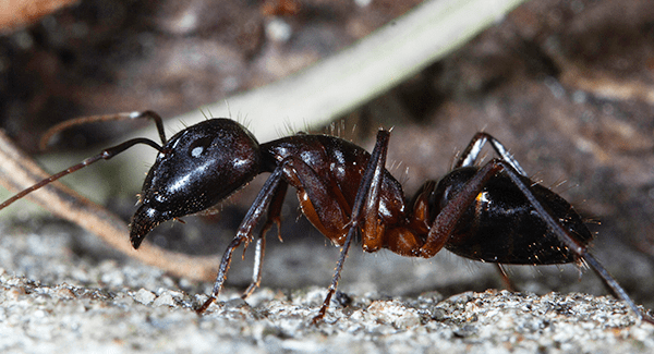 carpenter ant up close