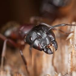 carpenter ant in a south portland me home