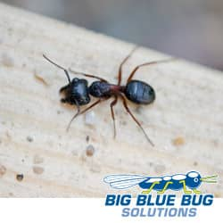 Carpenter Ants In Massachusetts