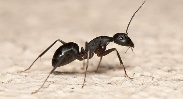 a carpenter ant on a kitchen floor