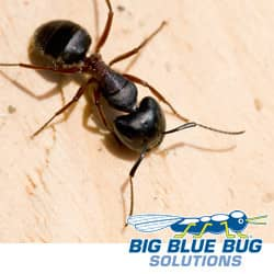 carpenter ants in new england can cause damage to your home