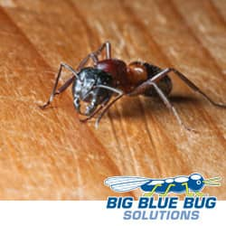 Carpenter Ant In Rhode Island Home