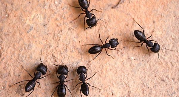 a colony of carpenter ants on a worchester massachusetts patio
