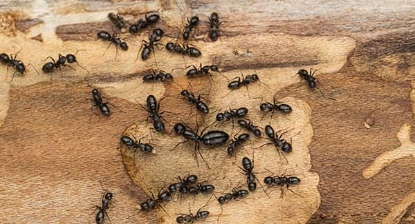 a very large colony of carpenter ants displaying the damage these pests can create on a wooden structure on a new england property