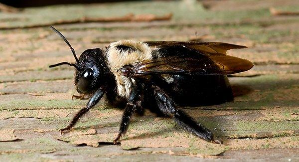 a carpenter bee on wooden surface
