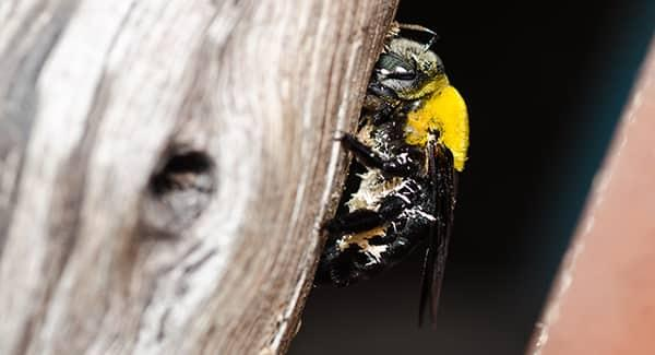 a carpenter bee discreetly feasting on a wooden structure in a new england mudroom