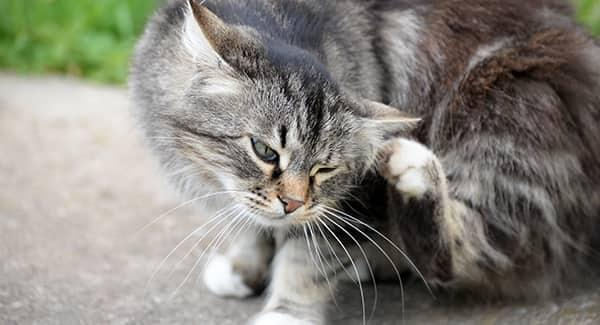 a gry and white striped kitten scratching hr fleas outside of a portland home