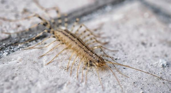 a centipede scurrying along a road island kitchen floor