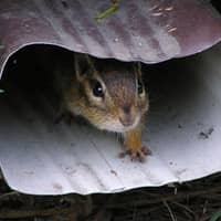 chipmunk found trying to enter a providence home