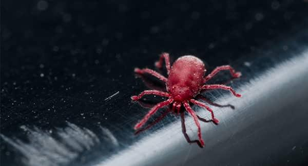 a bright dark red clover mite crawling along a railing on a portland maine home