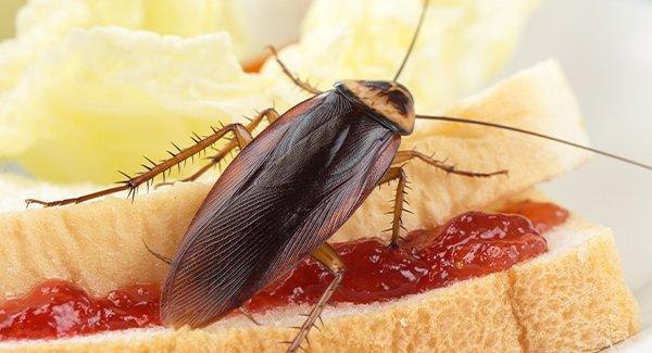a cockroach on human food