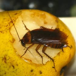 cockroach on a pear in a CT home