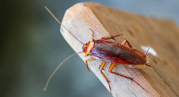 a growing cockroach crawling along the edge of a wooden table in a portland maine kitchen