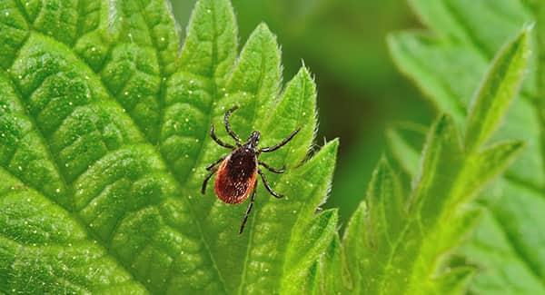 a small but very dangerous deer tick traveling along a vibrant green leaf on a new england property
