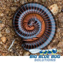 Millipedes In Worcester MA