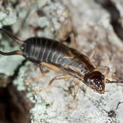 earwig climbing on rock
