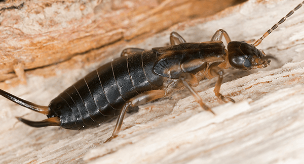 earwig crawling on ground