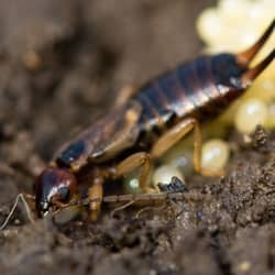 earwig near south portland home