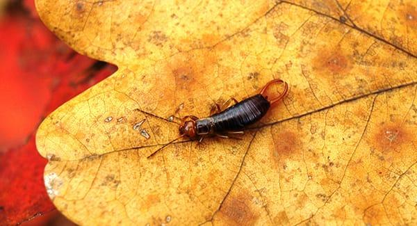 An earwig crawling along vibrant fall leaves in a providence road island back yard