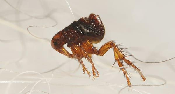 a flea infesttaion in a south portland maineling haired pet