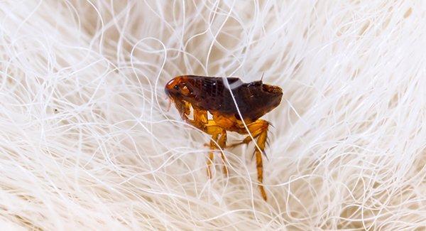 a flea on dog hair