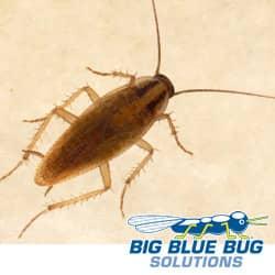 german cockroach found in farmingham