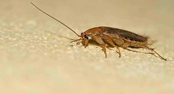 a german cockroach crawling along a worcester massachusetts kitchen counter top