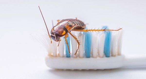 a german cockroach on a toothbrush