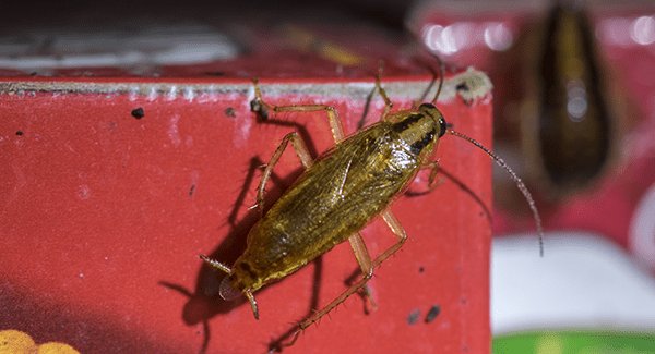 german cockroach in pantry