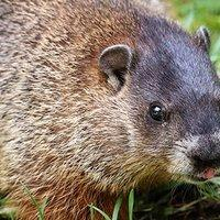 a groundhog looking for food in a yard