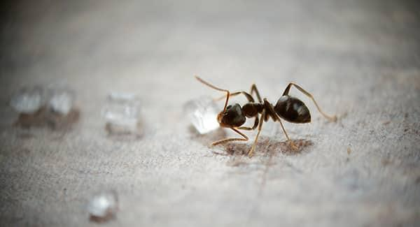 an odorous ant sucking on a water drop as its colony is infesting a southern portland maine home