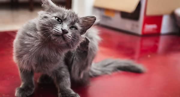 cat scratching flea bites