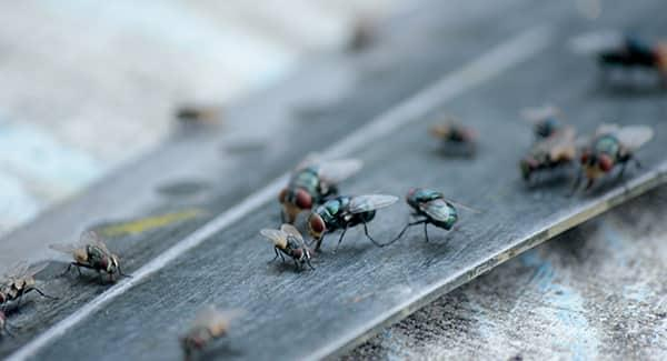 a large colony of flies infesting a home in worcester