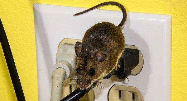 a house mouse crawling on eletrical cords