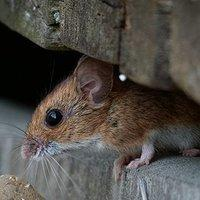 a house mouse looking for an entry point
