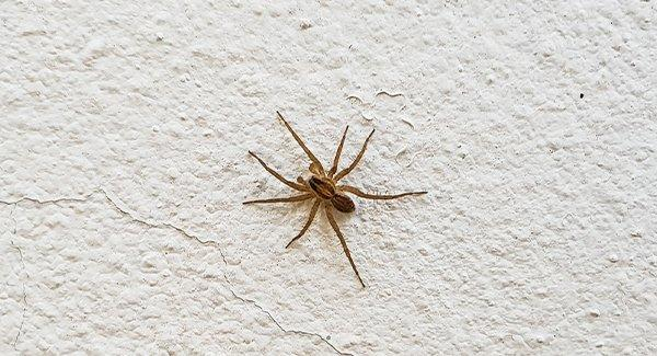 a house spider on a wall