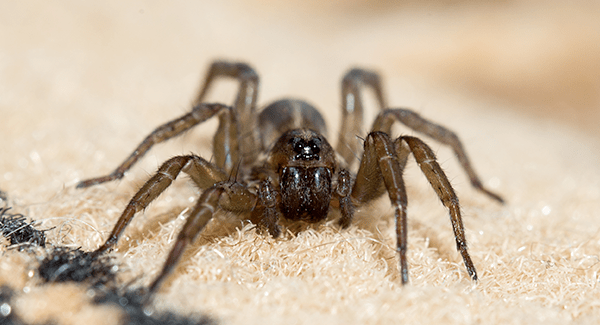 house spider crawling on carpet