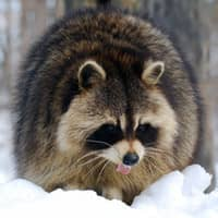 raccoon walking through snow