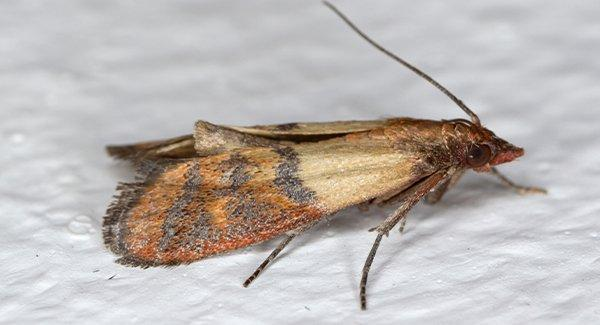 an indian meal moth on a white surface