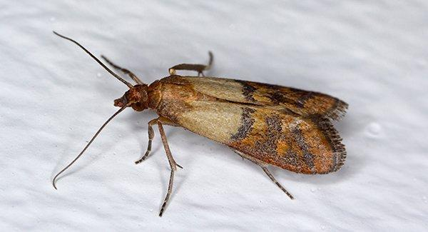 an indian meal moth on white surface