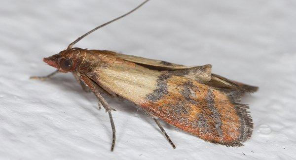 an indian meal moth in a food pantry
