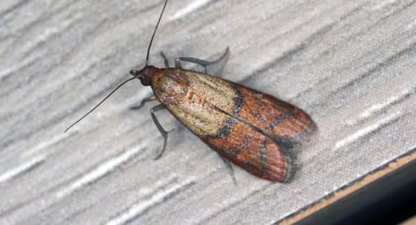 a red and golden indian meal moth crawling up the wall pf a food pantry in a new england home