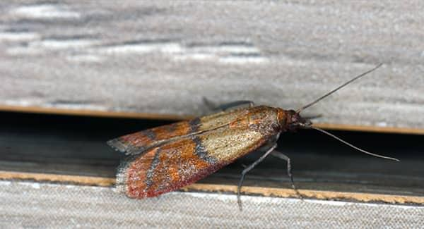 an indian meal moth crawling along a pantry shelving unit in a south portland home
