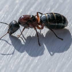 carpenter ant on deck