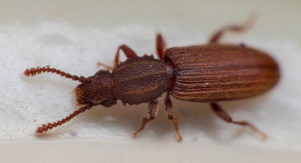 grain beetle in flour