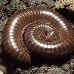 millipede curled up in a ma backyard
