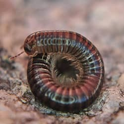 millipede curled up