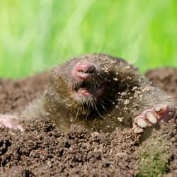 mole digging up lawn