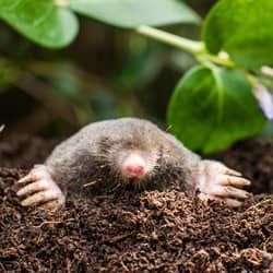 mole found in rhode island